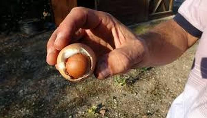 Türkiyədə maraqlı hadisə!  Yumurtanın içərisindən yumurta çıxdı